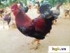 Năm giống gà tiến vua độc nhất vô nhị của Việt Nam